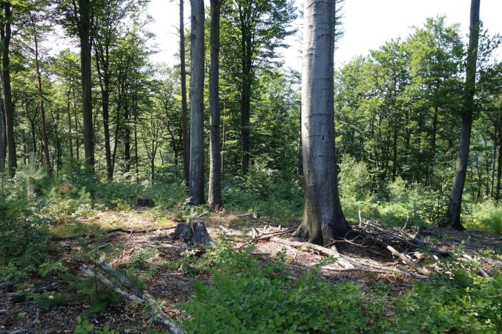 Im Altholz Rotbuchen, in der Verjüngung ist neben der Rotbuche auch die Kiefer bereits zu erkennen, © BPWW/Brenner