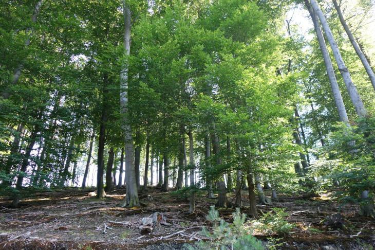 Das buchendominierte Altholz mit Moospolstern und wenig natürlicher Verjüngung im Unterhangbereich – unser Versuchs- und Beobachtungswaldbestand, © BPWW/Brenner
